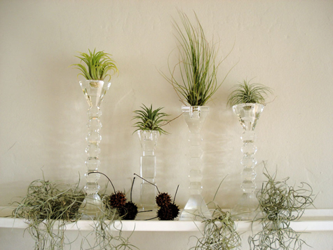 Tillandsias on crystal candleholders