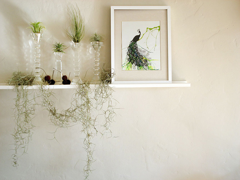 Crystal candleholders as displays for air plants and peacock print.