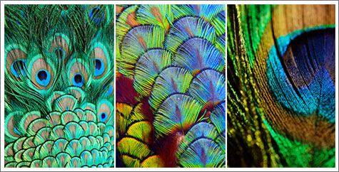 Collage of peacock feathers